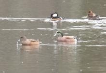 Hooded mergansers and American wigeons at Hager Pond in Marlborough, photographed by Steve Forman.