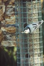 A white-breasted nuthatch in Harvard, photographed by Robin Right.