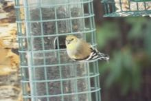 An American goldfinch in Harvard, photographed by Robin Right.