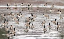 Canada geese on the Sudbury Reservoir in Southborough, photographed by Steve Forman.