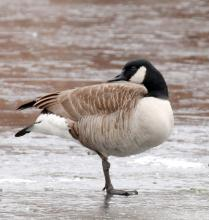 A Canada goose on the Sudbury Reservoir in Southborough, photographed by Steve Forman.