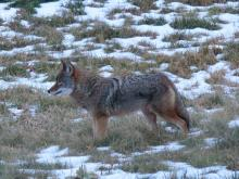 A coyote in Sudbury, photographed by Lisa Eggleston.