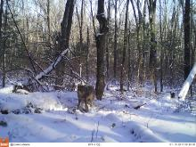A coyote in Stow, photographed with an automatically triggered wildlife camera by Steve Cumming.