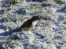 A red-tailed hawk in Sudbury, photographed by Lisa Eggleston.
