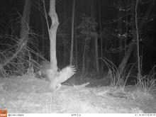 A barred owl in Stow, photographed with an automatically triggered wildlife camera by Steve Cumming.
