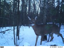 A white-tailed deer in Stow, photographed with an automatically triggered wildlife camera by Steve Cumming.