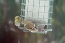 American goldfinches in Harvard, photographed by Robin Right.