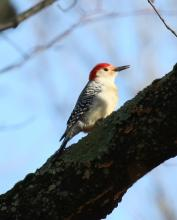 A red-bellied woodpecker at Heard Pond in Wayland, photographed by Steve Forman.