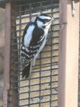 A downy woodpecker in Framingham, photographed by Steve Forman.