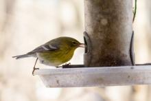 A pine warbler in Lincoln, photographed by Mark Levinson.