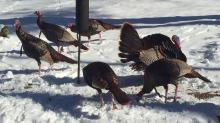 Turkeys in a Sudbury back yard, photographed by Peg Espinola.