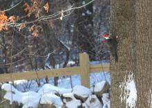 A pileated woodpecker in Sudbury, photographed by Amy Hansen.