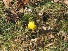 A dandelion at Heard Farm in Wayland, photographed by Lisa Eggleston.
