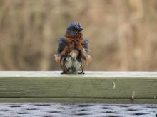An eastern bluebird after a bath in Sudbury, photographed by Lisa Eggleston.