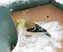 An American goldfinch in Framingham, photographed by Steve Forman.
