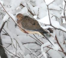 A mourning dove in Framingham, photographed by Steve Forman.