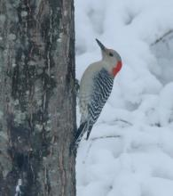 A red-bellied woodpecker in Framingham, photographed by Steve Forman.
