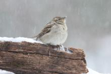 A house sparrow in Sudbury, photographed by Sue Feldberg.