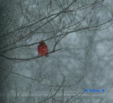 A northern cardinal in Marlborough, photographed by Ginny Hutchison.
