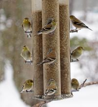 American goldfinches in Framingham, photographed by Joan Chasan.