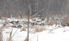 American black ducks, Canada geese and mallards at SVT's Lyons-Cutler Reservation in Sudbury.