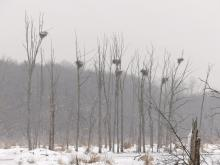 A snowy great blue heron rookery, at SVT's Lyons-Cutler Reservation in Sudbury.