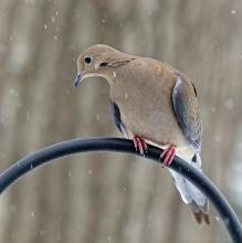 A mourning dove in Framingham, photographed by Joan Chasan.