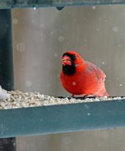 A northern cardinal in Framingham, photographed by Joan Chasan.