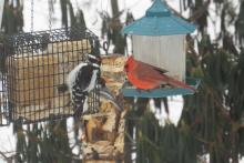 A hairy woodpecker (left), black-capped chickadee and northern cardinal in Harvard, photographed by Robin Right.