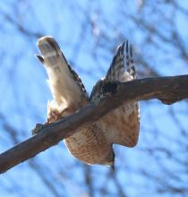 A red-shouldered hawk in Sudbury, photographed by Steve Forman.