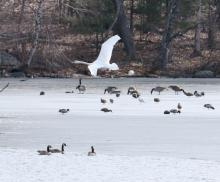 Mallards, a mute swan and Canada geese at Hager Pond in Marlborough, photographed by Steve Forman.