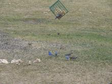 Eastern bluebirds, and others, at a feeder in Stow.