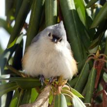 A tufted titmouse in Lincoln, photographed by Harold McAleer.