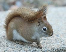 A red squirrel in Framingham, photographed by Steve Forman.