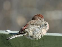A house finch in Sudbury, photographed by Lisa Eggleston.