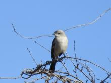 A northern mockingbird at Heard Farm in Wayland, photographed by Lisa Eggleston.