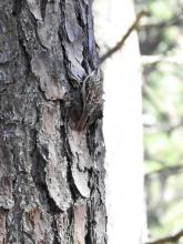 A brown creeper at SVT's General Federation of Women's Clubs of Massachusetts Memorial Forest in Sudbury, photographed by Lisa Eggleston.