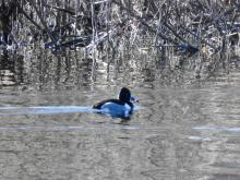A ring-necked duck on the Sudbury River in Sudbury, photographed by Lisa Eggleston.
