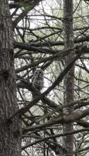 A barred owl at the Yapp CR in Littleton, photographed by Tom Fama.