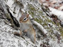 An eastern chipmunk at Heard Farm in Wayland, photographed by Lisa Eggleston.