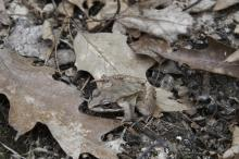 A wood frog at the Yapp CR in Littleton, photographed by Tom Fama.