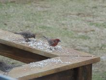 House finches in Stow.