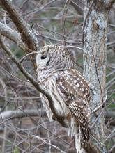 A barred owl at Assabet River National Wildlife Refuge in Sudbury, photographed by Lisa Eggleston.