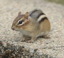 An eastern chipmunk in Framingham, photographed by Steve Forman.