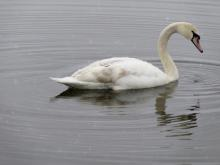 A mute swan on Heard Pond in Wayland, photographed by Lisa Eggleston.