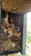 A flying squirrel in a bluebird nest box at SVT's Walkup & Robinson Memorial Reservation in Westborough, photographed by Jesse Koyen.