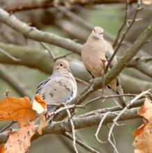 Mourning doves in Framingham, photographed by Steve Forman.
