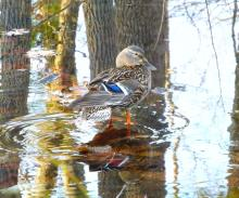 A mallard in Northborough, photographed by Sandy Howard.