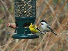 A house finch, American goldfinch and black-capped chickadee in Southborough, photographed by Eileen Samberg.