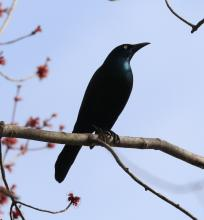 A common grackle in Concord, photographed by Steve Forman.